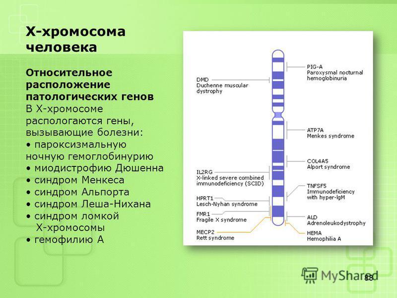88 Х-хромосома человека Относительное расположение патологических генов В Х-хромосоме распологаются гены, вызывающие болезни: пароксизмальную ночную гемоглобинурию миодистрофию Дюшенна синдром Менкеса синдром Альпорта синдром Леша-Нихана синдром ломк