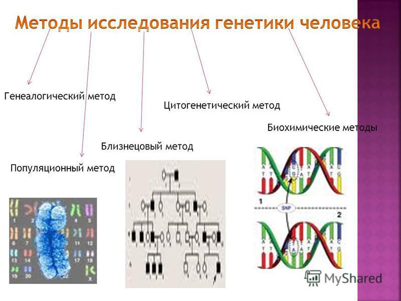 Генеалогический метод Популяционный метод Близнецовый метод Цитогенетический метод Биохимические методы