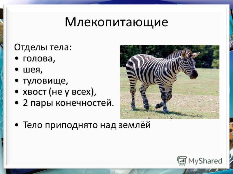Млекопитающие Отделы тела: голова,голова, шея,шея, туловище,туловище, хвост (не у всех),хвост (не у всех), 2 пары конечностей.2 пары конечностей. Тело приподнято над землёй
