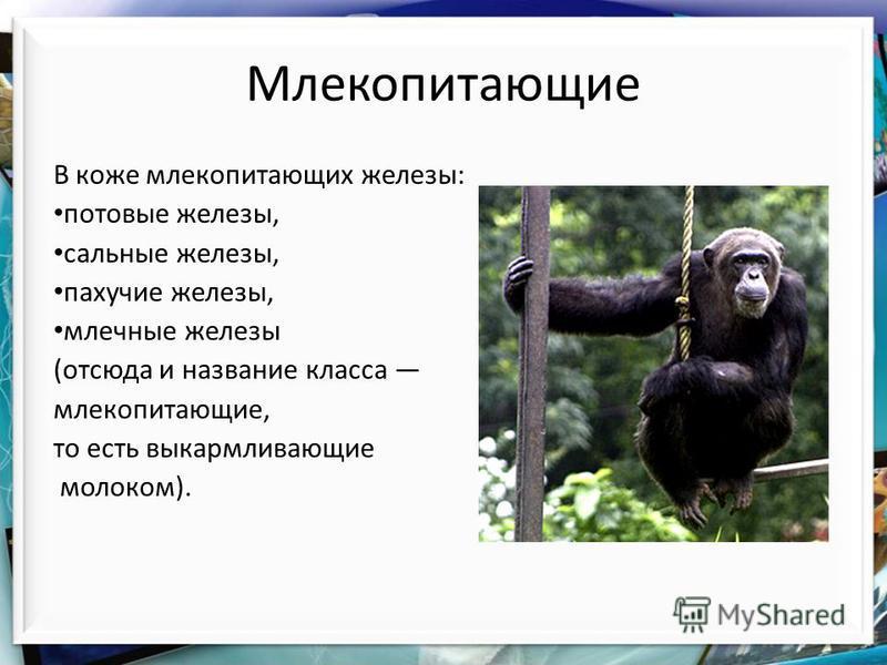 Млекопитающие В коже млекопитающих железы: потовые железы, сальные железы, пахучие железы, млечные железы (отсюда и название класса млекопитающие, то есть выкармливающие молоком).