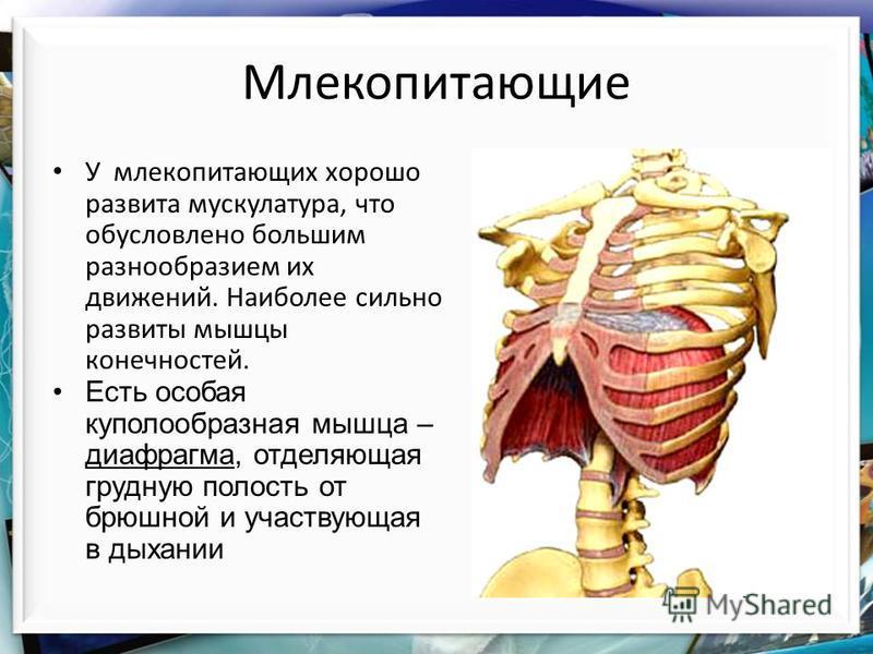 Млекопитающие У млекопитающих хорошо развита мускулатура, что обусловлено большим разнообразием их движений. Наиболее сильно развиты мышцы конечностей. Есть особая куполообразная мышца – диафрагма, отделяющая грудную полость от брюшной и участвующая
