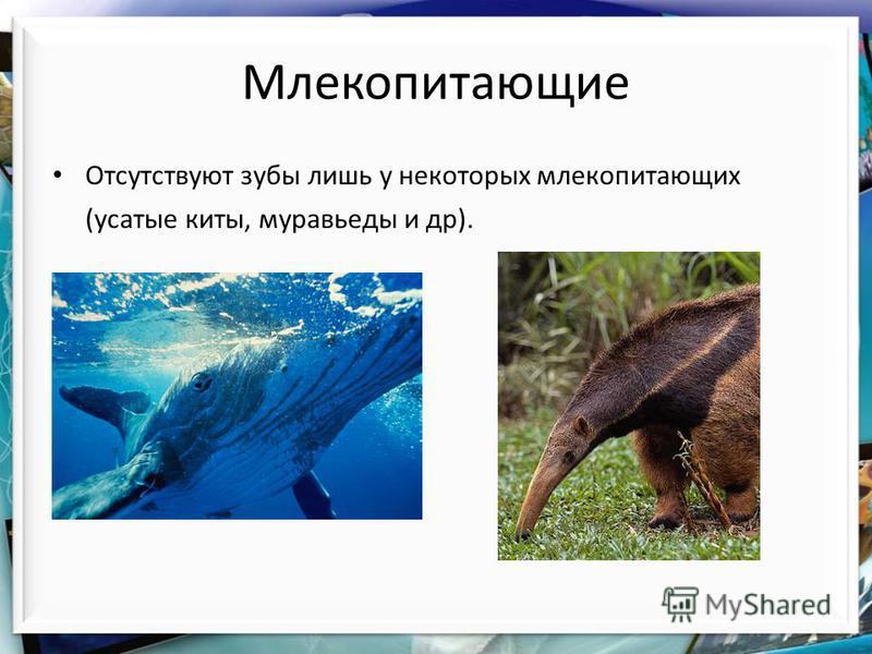Млекопитающие Отсутствуют ззубы лишь у некоторых млекопитающих (усатые киты, муравьеды и др).