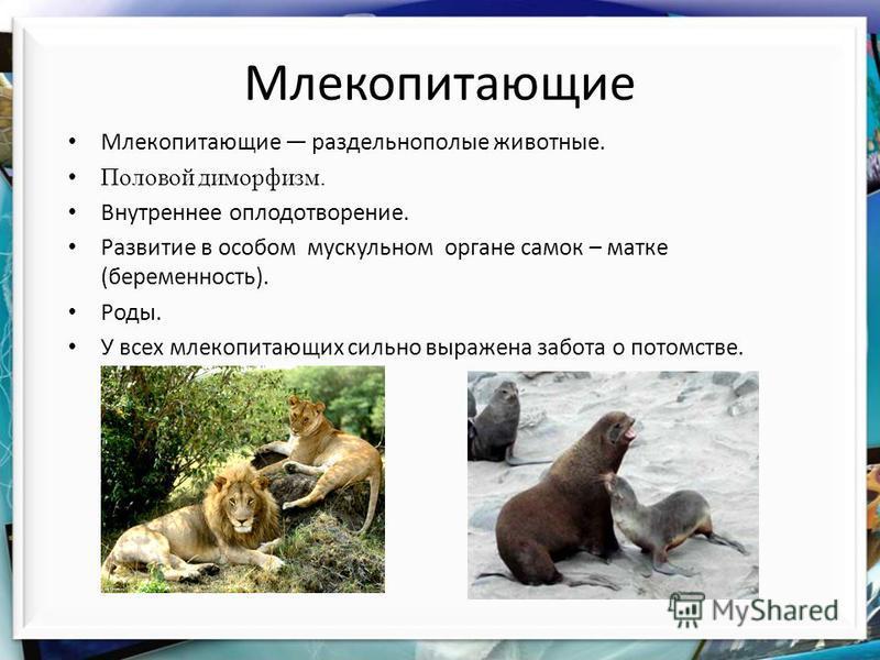 Млекопитающие Млекопитающие раздельнополые животные. Половой диморфизм. Внутреннее оплодотворение. Развитие в особом мускульном органе самок – матке (беременность). Роды. У всех млекопитающих сильно выражена забота о потомстве.