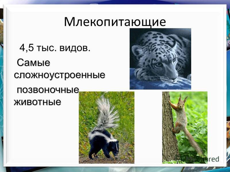 Млекопитающие 4,5 тыс. видов. Самые сложноустроенные позвоночные животные позвоночные животные