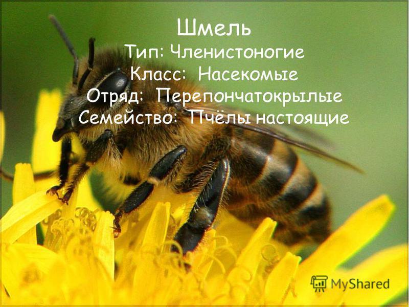 Шмель Тип: Членистоногие Класс: Насекомые Отряд: Перепончатокрылые Семейство: Пчёлы настоящие