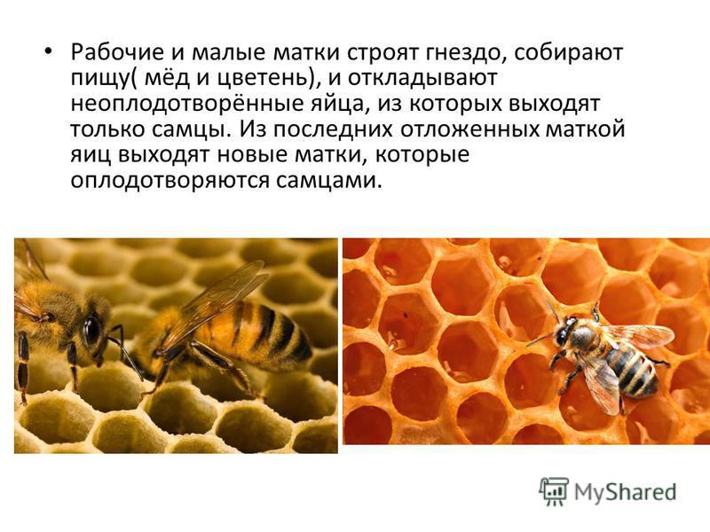Рабочие и малые матки строят гнездо, собирают пищу( мёд и цветень), и откладывают неоплодотворённые яйца, из которых выходят только самцы. Из последних отложенных маткой яиц выходят новые матки, которые оплодотворяются самцами.