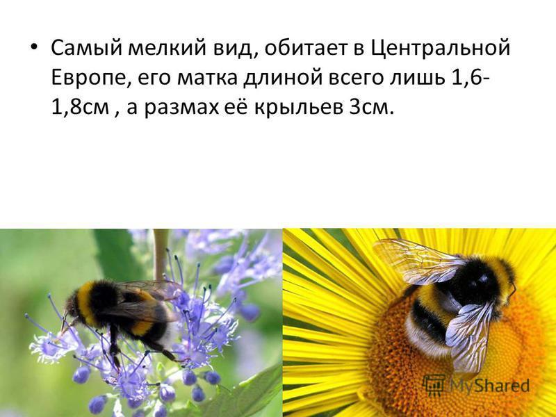 Самый мелкий вид, обитает в Центральной Европе, его матка длиной всего лишь 1,6- 1,8 см, а размах её крыльев 3 см.