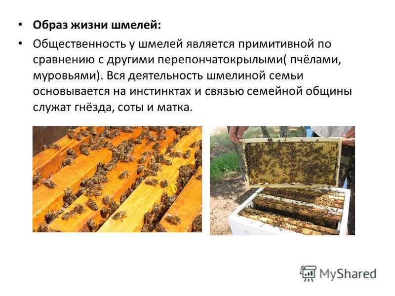 Образ жизни шмелей: Общественность у шмелей является примитивной по сравнению с другими перепончатокрылыми( пчёлами, муравьями). Вся деятельность шмелиной семьи основывается на инстинктах и связью семейной общины служат гнёзда, соты и матка.