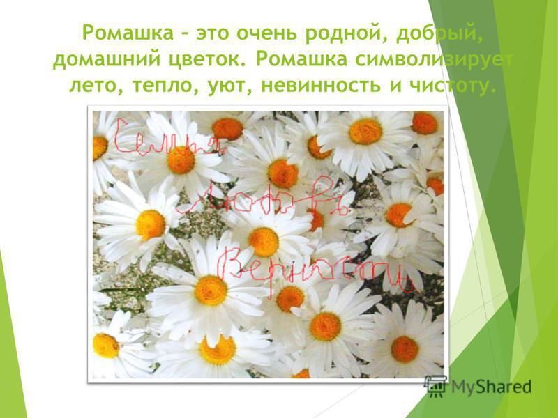 Ромашка – это очень родной, добрый, домашний цветок. Ромашка символизирует лето, тепло, уют, невинность и чистоту.