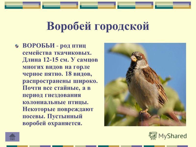Воробей городской ВОРОБЬИ - род птиц семейства ткачиковых. Длина 12-15 см. У самцов многих видов на горле черное пятно. 18 видов, распространены широко. Почти все стайные, а в период гнездования колониальные птицы. Некоторые повреждают посевы. Пустын