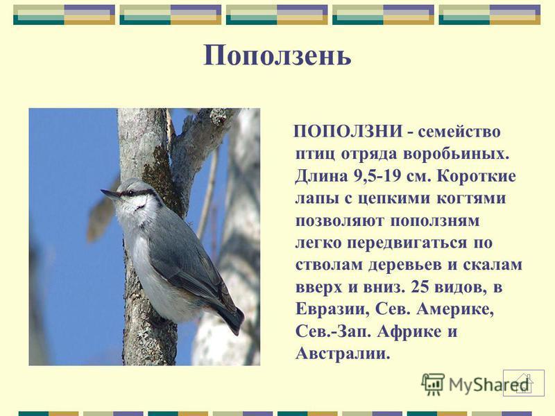 описание фото поползень птицы