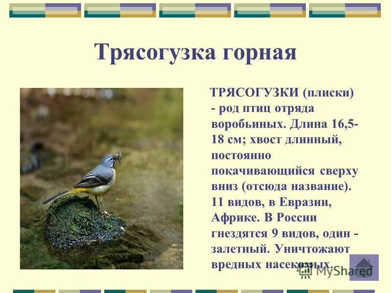 Трясогузка горная ТРЯСОГУЗКИ (плиски) - род птиц отряда воробьиных. Длина 16,5- 18 см; хвост длинный, постоянно покачивающийся сверху вниз (отсюда название). 11 видов, в Евразии, Африке. В России гнездятся 9 видов, один - залетный. Уничтожают вредных