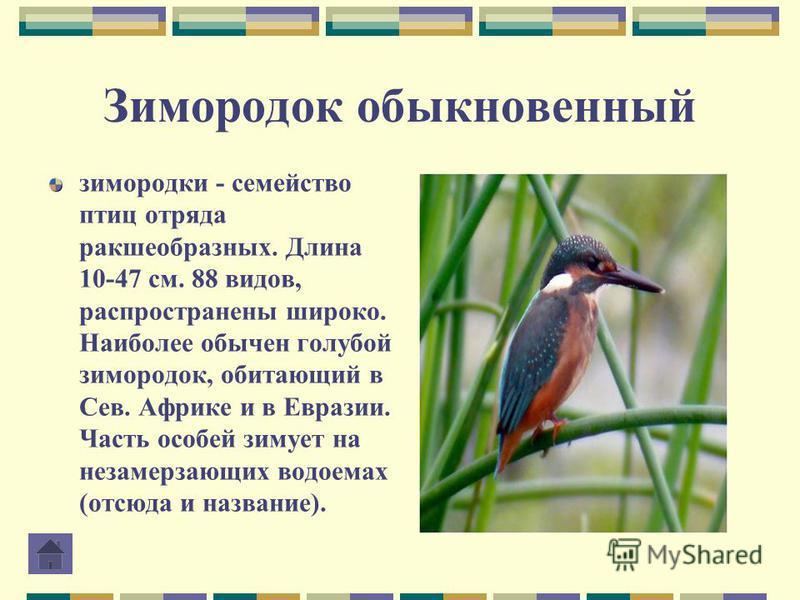 Зимородок обыкновенный зимородки - семейство птиц отряда ракшеобразных. Длина 10-47 см. 88 видов, распространены широко. Наиболее обычен голубой зимородок, обитающий в Сев. Африке и в Евразии. Часть особей зимует на незамерзающих водоемах (отсюда и н