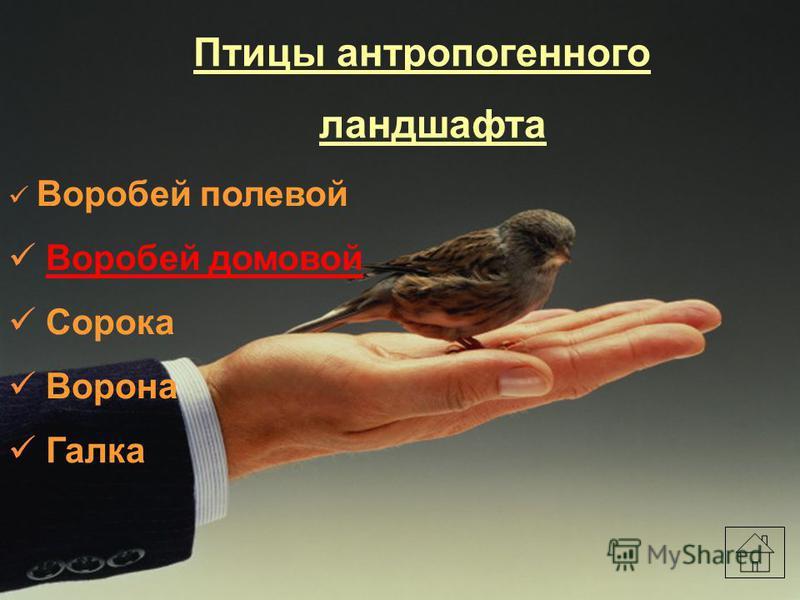 Птицы антропогенного ландшафта Воробей полевой Воробей домовой Сорока Ворона Галка