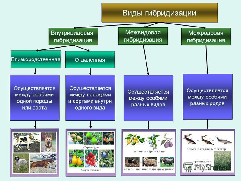 Виды гибридизации Внутривидовая гибридизация Отдаленная Близкородственная Межвидовая гибридизация Межродовая гибридизация Осуществляется между особями одной породы или сорта Осуществляется между породами и сортами внутри одного вида Осуществляется ме