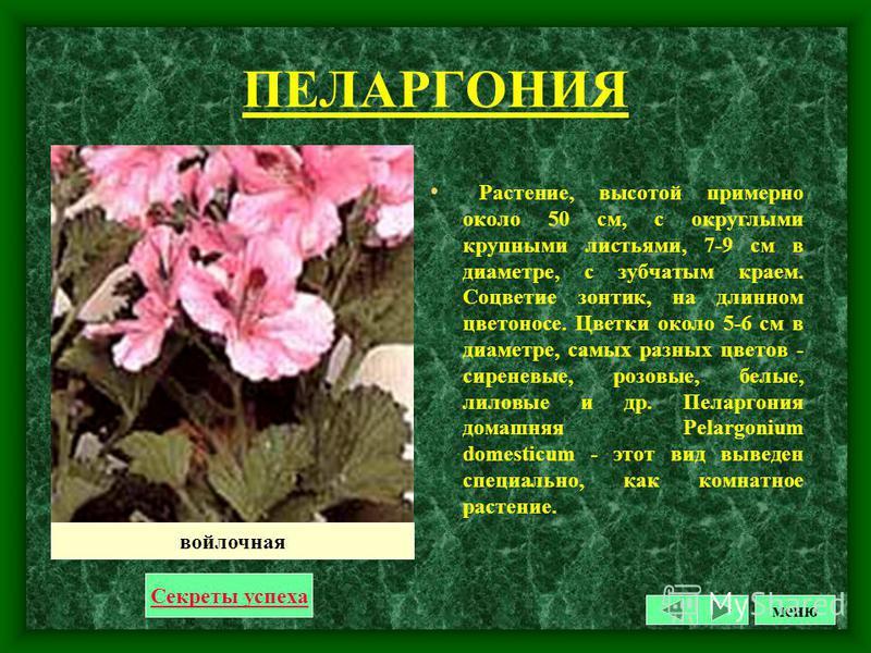 ПАССИФЛОРА Цветок с белым наружным и голубым внутренним венчиком сходство с орудиями страстей Господних: тройное рыльце изображает три гвоздя, кружок искапанных красным цветом тычинок - окровавленный терновый венец, стебельчатый плодник-чашу, пять пы
