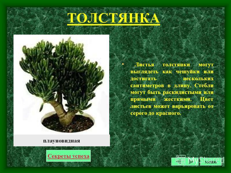 ПЛЮЩ Вечнозеленое кустарниковое растение с многочисленными лазящими побегами длиной до 2-3 м, нуждающимися в опоре (решетки, рейки, натянутые шнуры). Прикрепляется к опоре воздушными корнями. Листья темно-зеленые, кожистые, глянцевитые, с сердцевидны