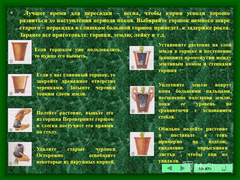 По ряду причин, особенно если растение растет в большом горшке или особо сформировано, пересадка нежелательна. В этом случае каждую весну следует заменять верхний слой земли толщиной в 2 см (до 5 см в больших горшках). Удаленную землю в таком случае