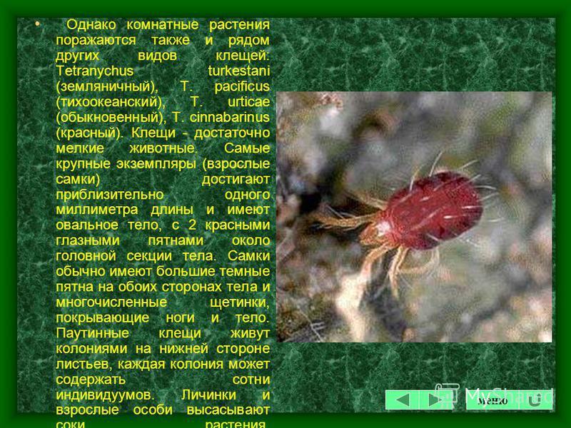 КЛЕЩИ КЛЕЩИ относятся не к насекомым, а к паукообразным. Поэтому большинство хим. препаратов от насекомых-вредителей на них не действуют. Паутинный клещ - Tetranychus urticae Koch. Латинское наименование имеет приблизительно 60 синонимов, что создает