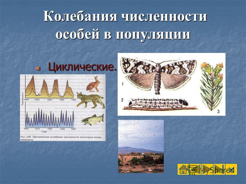 Колебания численности особей в популяции Колебания численности особей в популяции Циклические. Циклические.