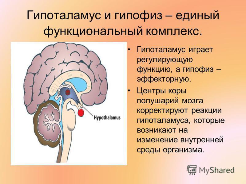 Гипоталамус и гипофиз – единый функциональный комплекс. Гипоталамус играет регулирующую функцию, а гипофиз – эффекторную. Центры коры полушарий мозга корректируют реакции гипоталамуса, которые возникают на изменение внутренней среды организма.