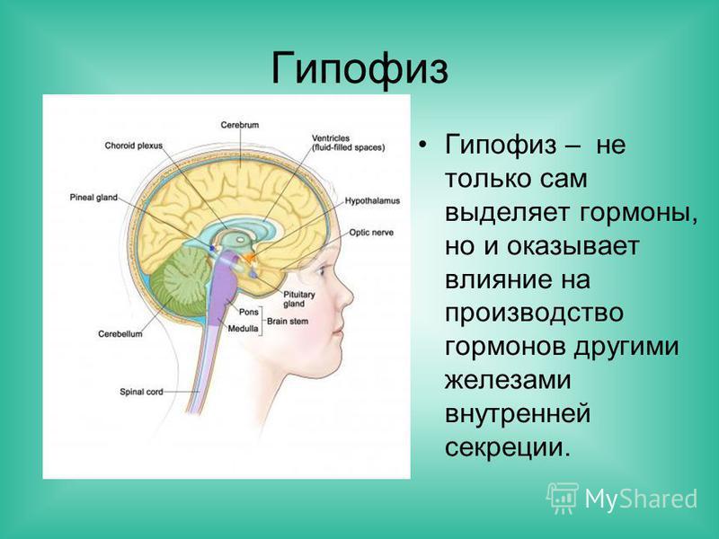 Гипофиз Гипофиз – не только сам выделяет гормоны, но и оказывает влияние на производство гормонов другими железами внутренней секреции.