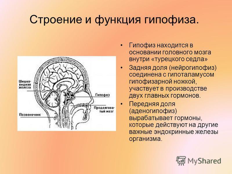 Строение и функция гипофиза. Гипофиз находится в основании головного мозга внутри «турецкого седла» Задняя доля (нейрогипофиз) соединена с гипоталамусом гипофизарной ножкой, участвует в производстве двух главных гормонов. Передняя доля (аденогипофиз)