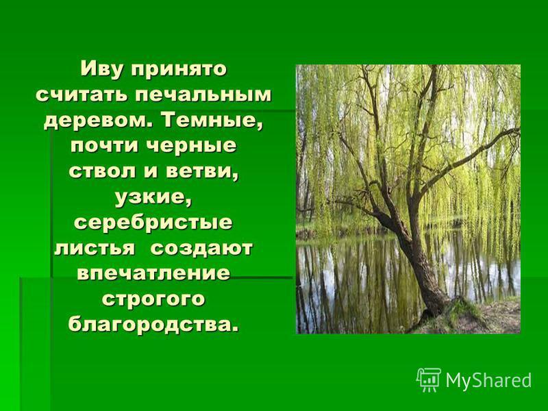 Иву принято считать печальным деревом. Темные, почти черные ствол и ветви, узкие, серебристые листья создают впечатление строгого благородства.