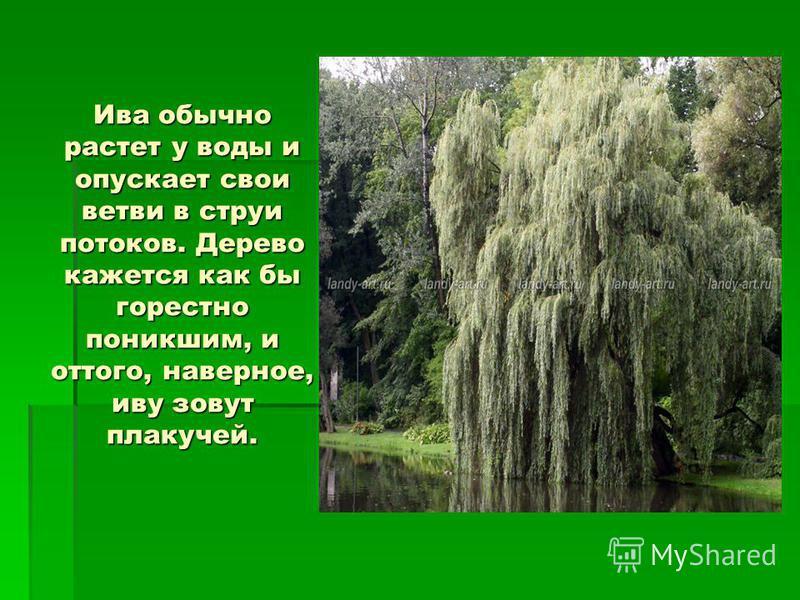 Ива обычно растет у воды и опускает свои ветви в струи потоков. Дерево кажется как бы горестно поникшим, и оттого, наверное, иву зовут плакучей.