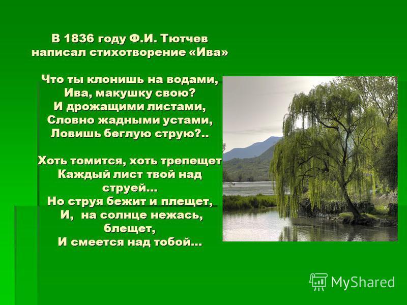 В 1836 году Ф.И. Тютчев написал стихотворение «Ива» Что ты клонишь на водами, Ива, макушку свою? И дрожащими листами, Словно жадными устами, Ловишь беглую струю?.. Хоть томится, хоть трепещет Каждый лист твой над струей… Но струя бежит и плещет, И, н