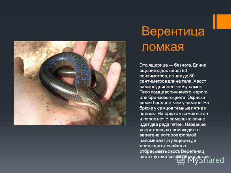 Верентица ломкая Эта ящерица безнога. Длина ящерицы достигает 50 сантиметров, из них до 30 сантиметров длина тела. Хвост самцов длиннее, чем у самок. Тело самца коричневого, серого или бронзового цвета. Окраска самок бледнее, чем у самцов. На брюхе у