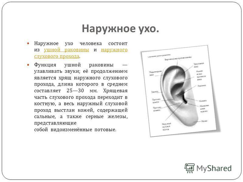 Ухо сложный орган животных, предназначенный для восприятия звуковых колебаний. У большинства хордовых он, кроме восприятия звука, выполняет ещё одну функцию : отвечает за положение тела в пространстве и способность удерживать равновесие. Ухо позвоноч