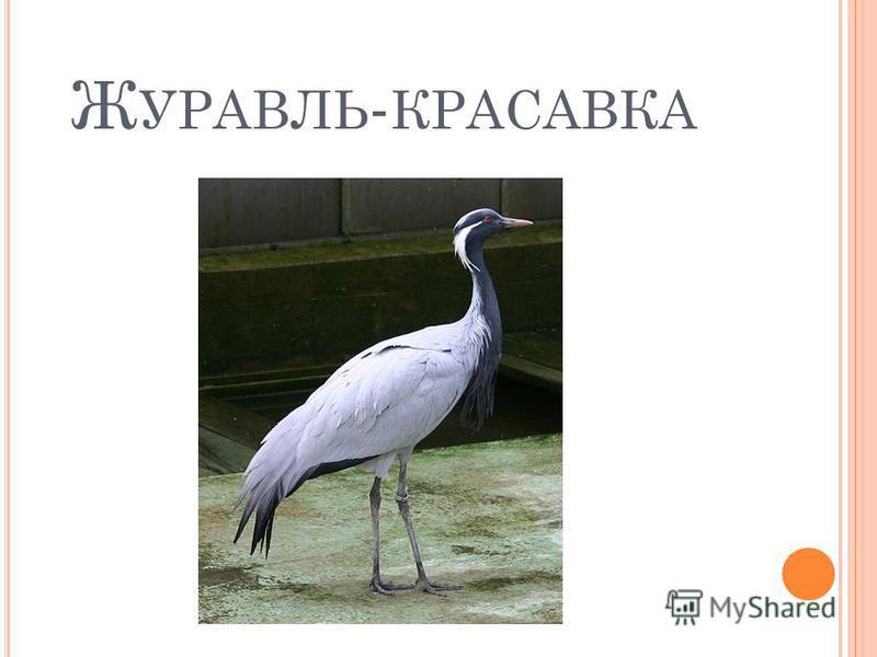 Ж УРАВЛЬ - КРАСАВКА
