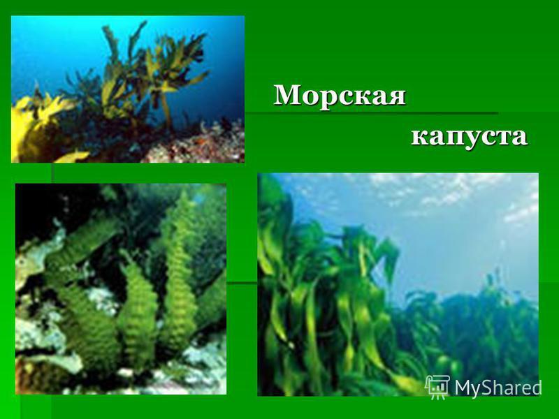 Морская Морская капуста капуста