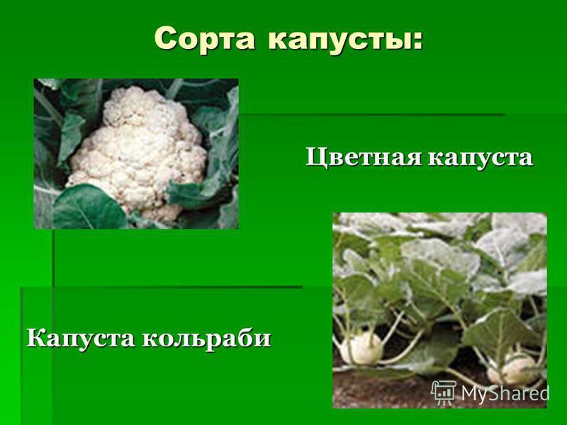 Сорта капусты: Цветная капуста Цветная капуста Капуста кольраби