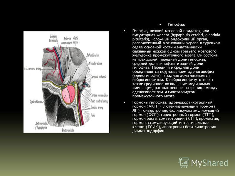 Гипофиз: Гипофиз, нижний мозговой придаток, или питуитарная железа (hypaphisis cerebri, glandula pituitaris), - сложный эндокринный орган, расположенный в основании черепа в турецком седле основной кости и анатомически связанный ножкой с дном третьег