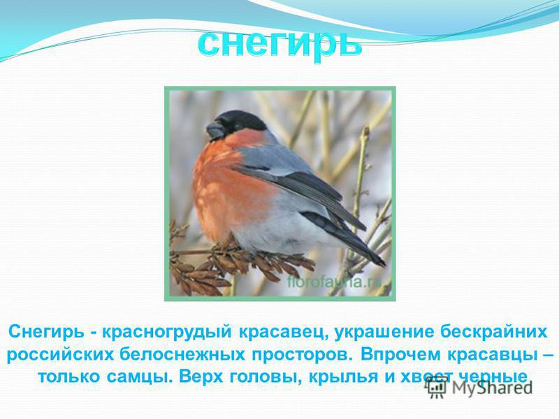 Снегирь - красногрудый красавец, украшение бескрайних российских белоснежных просторов. Впрочем красавцы – только самцы. Верх головы, крылья и хвост черные