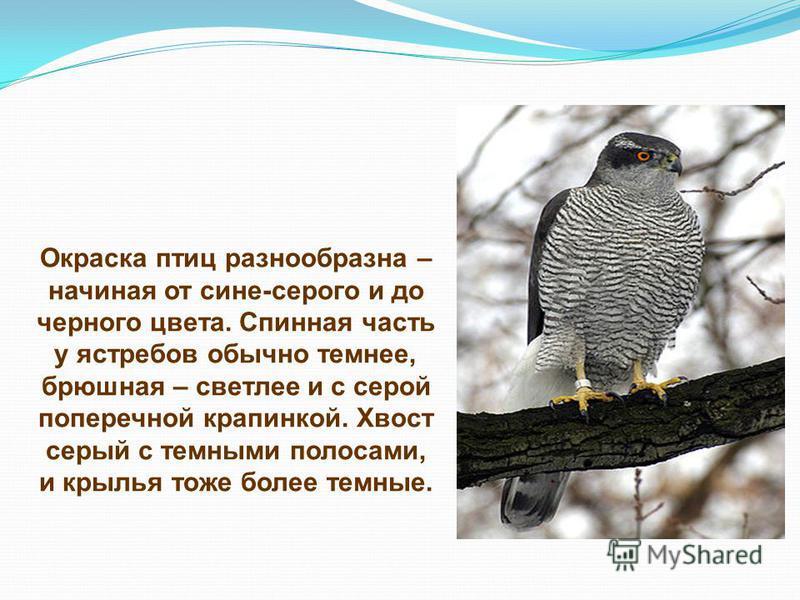 Окраска птиц разнообразна – начиная от сине-серого и до черного цвета. Спинная часть у ястребов обычно темнее, брюшная – светлее и с серой поперечной крапинкой. Хвост серый с темными полосами, и крылья тоже более темные.