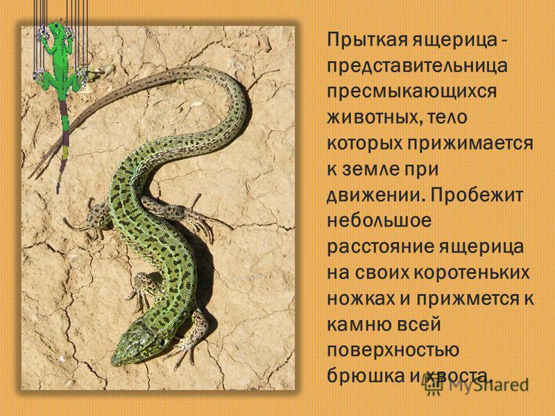 Прыткая ящерица - представительница пресмыкающихся животных, тело которых прижимается к земле при движении. Пробежит небольшое расстояние ящерица на своих коротеньких ножках и прижмется к камню всей поверхностью брюшка и хвоста.