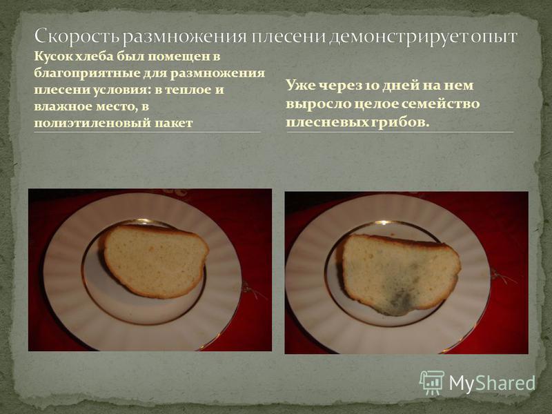 Кусок хлеба был помещен в благоприятные для размножения плесени условия: в теплое и влажное место, в полиэтиленовый пакет Уже через 10 дней на нем выросло целое семейство плесневых грибов.