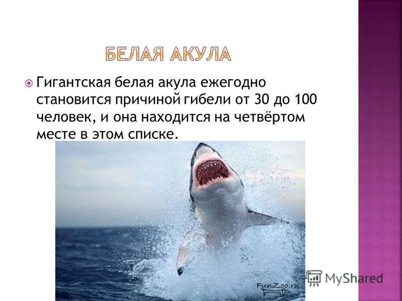 Гигантская белая акула ежегодно становится причиной гибели от 30 до 100 человек, и она находится на четвёртом месте в этом списке.