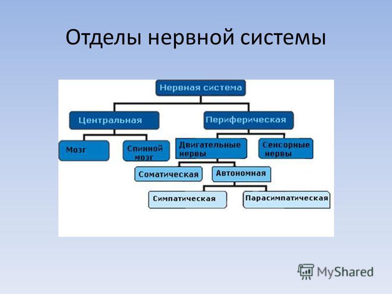 Отделы нервной системы