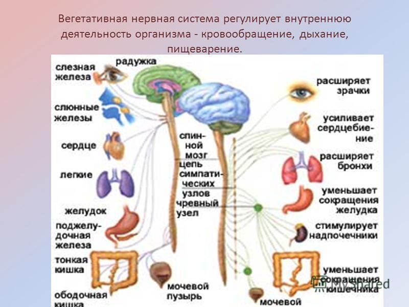 Вегетативная нервная система регулирует внутреннюю деятельность организма - кровообращение, дыхание, пищеварение.