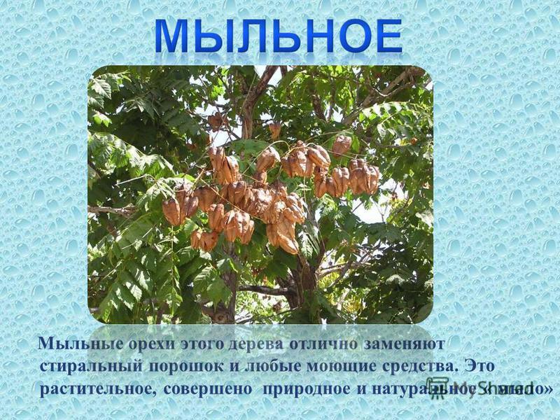 Мыльные орехи этого дерева отлично заменяют стиральный порошок и любые моющие средства. Это растительное, совершено природное и натуральное « мыло»