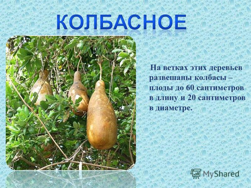 На ветках этих деревьев развешаны колбасы – плоды до 60 сантиметров в длину и 20 сантиметров в диаметре.
