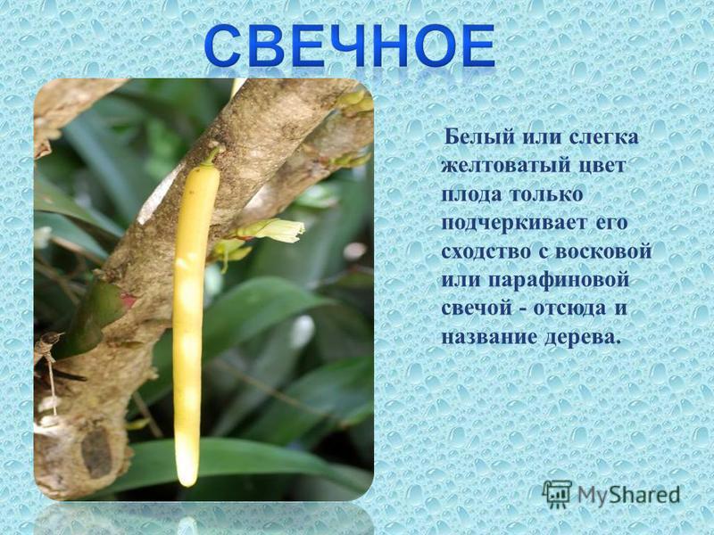 Белый или слегка желтоватый цвет плода только подчеркивает его сходство с восковой или парафиновой свечой - отсюда и название дерева.