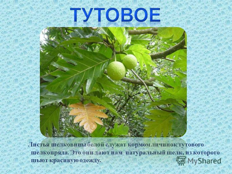 Листья шелковицы белой служат кормом личинок тутового шелкопряда. Это они дают нам натуральный шелк, из которого шьют красивую одежду.