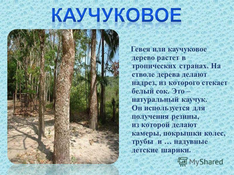 Гевея или каучуковое дерево растет в тропических странах. На стволе дерева делают надрез, из которого стекает белый сок. Это – натуральный каучук. Он используется для получения резины, из которой делают камеры, покрышки колес, трубы и … надувные детс
