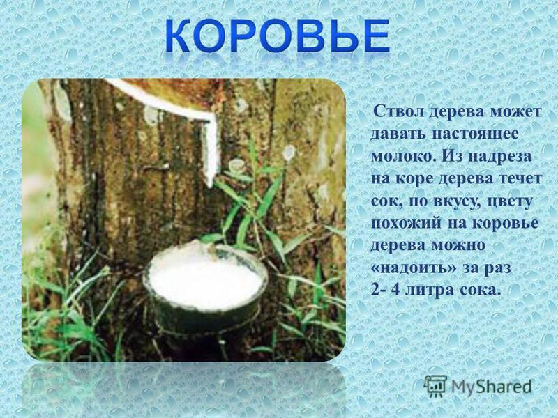 Ствол дерева может давать настоящее молоко. Из надреза на коре дерева течет сок, по вкусу, цвету похожий на коровье дерева можно « надоить » за раз 2- 4 литра сока.
