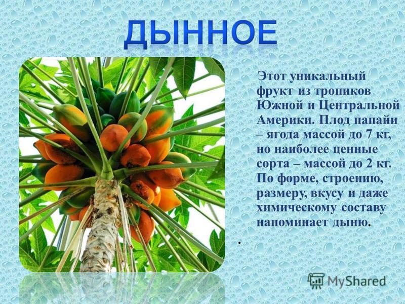 Этот уникальный фрукт из тропиков Южной и Центральной Америки. Плод папайи – ягода массой до 7 кг, но наиболее ценные сорта – массой до 2 кг. По форме, строению, размеру, вкусу и даже химическому составу напоминает дыню..